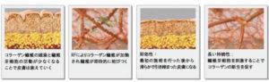 真皮層でのコラーゲン新生